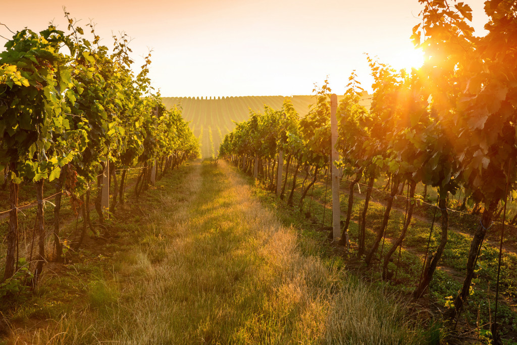 Beautiful Sunrise over a vineyard